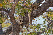 Eine unserer schönsten Tiersichtungen: Ein Leopard auf dem Baum :-))
