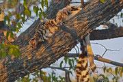 So schön ein Leopard auch ist, dieses Zebra sieht die Sache wohl anders.
