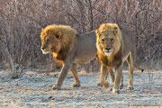 Die zwei Löwenpaschas sind beeindruckende Kraftpakete!