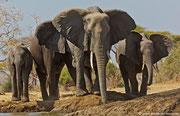 Ein neuer Trupp Elefanten freut sich auf das frische Nass zum Trinken.