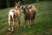 Ziegen auf dem Mühlingshof im 'Dorf der Tiere'.