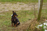 Mein Freund Winnie, der Mini-Dobermann