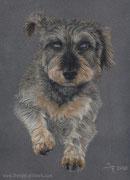 """Nike the flying Dachshund"" -  Hundeportrait in Pastellkreide, 24 cm x 30 cm"