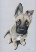 """""""Schäferhund Rogal"""" - Hundeportrait in Pastellkreide, 24 cm x 30 cm"""