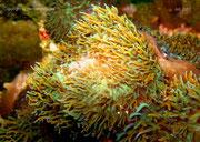 Rhodactis indosinensis - Scheibenanemone
