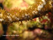 Rumphella sp. - Buschförmige Rindenkoralle