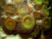 Protopalythoa sp. - Krustenanemone