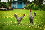 English Chickens