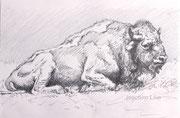 Bison, A4, Bleistift auf Papier