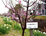 「20歳記念の梅の花」も・・箕川(みのかわ)沿いで・・。