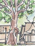 北海道護国神社 御神木