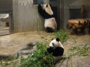 上野動物園パンダの親子