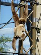 旭川動物園 シロテテナガザル