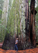 BIG TREES GROVE - GIANT TREE