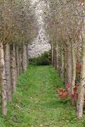Baumreihen