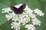 Erebia aethiops, la sua particolarità l'alone bluastro sulle ali
