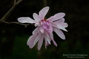 Magnolia stellata rosa