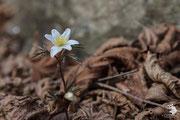 Anemone dei boschi (Anemone nemorosa L.)