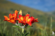Giglio selvatico (Lilium bulbiferum)