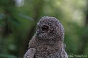 Pullo di allocco (Strix aluco) primo giorno fuori dal nido