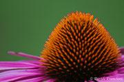 Close-up per questo bellissimo fiore di Echinacea