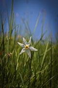 Narciso (Narcissus jonquilla)