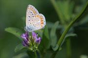 Polyommatus icarus - close