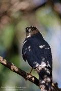 Sparviero eurasiatico maschio (Accipiter nisus)