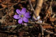 Erba trinità (Hepatica nobilis)