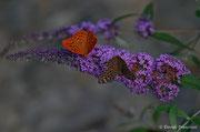 Argynnis paphia maschio e femmina