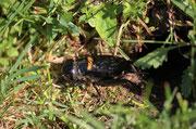 Grillo campestre (Gryllus campestris)