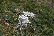 Stella Alpina (Leontopodium alpinum)
