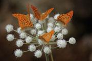 Argynnis paphia su fiore di Angelica silvestris