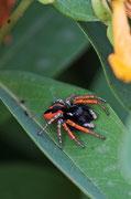 Philaeus chrysops (male)