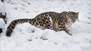Panthère des neiges  Photo:  J Houriez