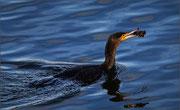 Cormoran à la pêche  Photo:  J Houriez