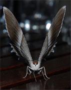 Papillon  Photo:  D Champion