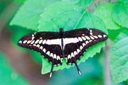 Papilio cresphontes Cramer