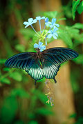 Papilio Memnon  ♥