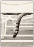 La queue du chat
