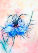 Blue fractal nigella  ♥