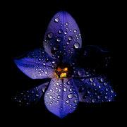 Fleur bleue  ♥