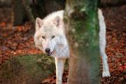 Loup blanc  ♥
