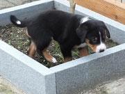 Ayk, Appenzeller Sennenhund Welpe