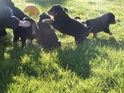 Appenzeller Sennenhunde aus Steinmauern