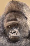Gorilla BOBO - Heidelberger Zoo