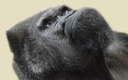 Gorilla FRITZ - Tiergarten Nürnberg