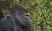 Gorillaaufnahme aus dem Loro Parque Teneriffa