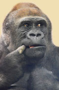 Gorilla LENA - Tiergarten Nürnberg
