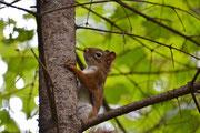 Écureuil roux (Québec)